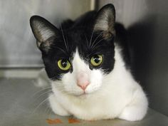 VILLA - A1097496 - - Manhattan  Please Share:***TO BE DESTROYED 11/26/16***8 MONTH OLD KITTEN…HEALTHY…ATTENTION SEEKING -  Click for info & Current Status: http://nyccats.urgentpodr.org/villa-a1097496/
