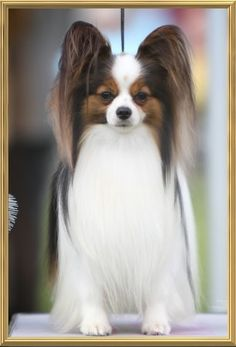 Gorgeous, there will always be a place in my heart for a Papillion