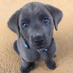 Follow us for more dogs and puppies. Save and share this post. Comment and tag friends who love this.  #dog #dogs #puppy #puppies #pup #pups