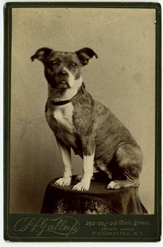 Title: Small, brindle-marked dog posed on table in studio  Date: ca. 1885  George Eastman House Collection