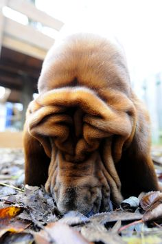 Bloodhound, those wrinkles are adorable! Bloodhound Puppies, Basset Hound Dog, Dogs And Puppies, I Love Dogs, Cute Dogs, Dog Breeds List, Crazy Dog Lady, Dog Rules, Cute Animal Pictures
