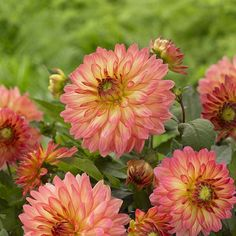 Dahlia plants are not hardy everywhere, but anyone can grow them. Get to know them with an overview of dahlia plants and their growing conditions. Shell Flowers, Cut Flowers, Yellow Flowers, Planting Dahlias, Oriental Lily, Asiatic Lilies, Dahlia Flower, My Secret Garden, Gardening Tips