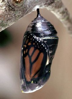 Transformation...Monarch chrysalis by Patrick Coin