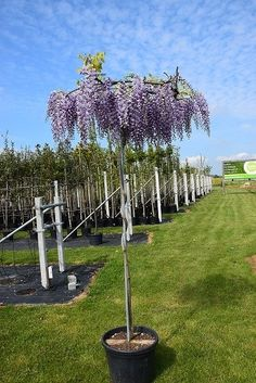 The Wisteria Sinensis round roof is a beautiful look in your garden. Blue rain is Timber Ceiling, Timber Roof, Wisteria Sinensis, Relaxing Colors, Porch Area, Getaway Cabins, Blue Rain, Animal Shelter, Planters