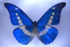 pictures of blue butterflies - Google Search