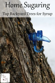 Interested in tapping the trees in your yard? Home Sugaring Preparation should begin now in order to be ready as soon as the temperatures are right. Survival Food, Survival Tips, Survival Stuff, Survival Skills, Organic Gardening, Gardening Tips, Gardening Supplies, Backyard Trees, Sugaring