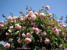 'Elie Beauvilain ' Rose Photo