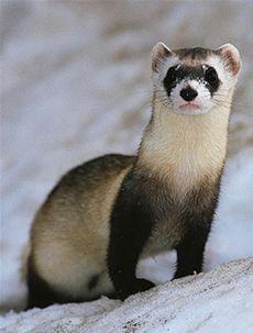 Black footed ferret - Endangered Species worldwildlife.org