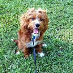 Penny IV is an adoptable Cockapoo Dog in Little Rock, AR. Penny is an adorable Cocker Spaniel/Poodle mix (Cockapoo) puppy whose owner is unable to care for her. At age 7 months, she weighs 17 pounds. ...