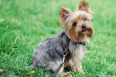 """Y"" Dog Breeds - Alphabetical Listing of Dog Breeds A to Z"