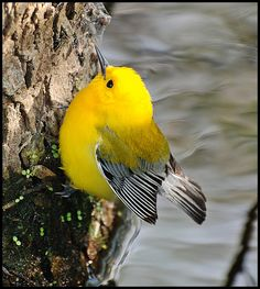 Prothonotary Warbler by MandyJo Photo, via Flickr - Some Prothonotary warbles emigrate to Puerto Rico in winter,