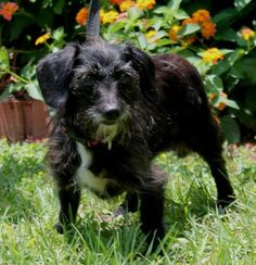 Meet Beth 22534, a Petfinder adoptable Dachshund Dog | Prattville, AL | Beth is a 6-year-old female Wire-haired Dachshund/Terrier mix who has already been spayed. She is...