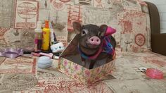 Пухля - звезда ! Cute Baby Pigs, Cute Piglets, Cute Babies, This Little Piggy, Little Pigs, Baby Tea, Cutest Pets, Small Pigs, Teacup Pigs