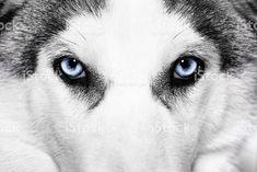 """Snappers """"Husky"""" blue eyes!"""