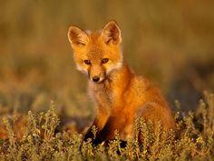 Симпатичный лисёнок, размер: 1600x1200 пикселей