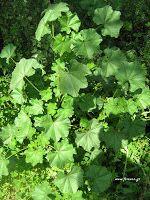 Μολόχα-Malva sp. Health Fitness, Herbs, How To Plan, Nature, Flowers, Food, Gardens, House, Decor