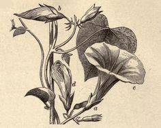 Vintage Ephemera: Engraved botany plate, Morning Glory, 1879