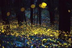 Giappone, il bosco si accende di milioni di lucciole