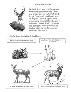 White-tailed Deer Life Cycle Sort Cut and Paste Activity