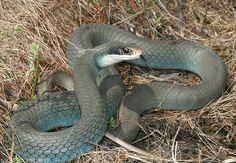Blue Racer Very Common Snake To North Texas A Member Of The Rat