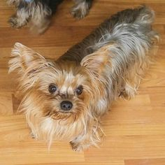 Lost Dog - Yorkshire Terrier Yorkie - Elyria, OH, United States 44035