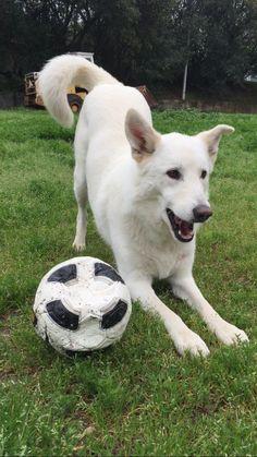 All white German shepherd/husky mix (gerberian). Loves to play!
