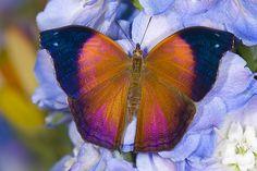 Salamis cacta - Lilac Beauty Butterfly Darrel Gulin Photography | Gallery | Butterflies II
