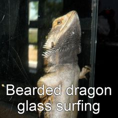 Bearded dragon glass surfing