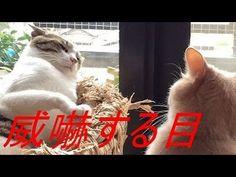 ♀猫こむぎの威嚇する目が怖すぎる;猫おもしろ動画こむぎ&だいず