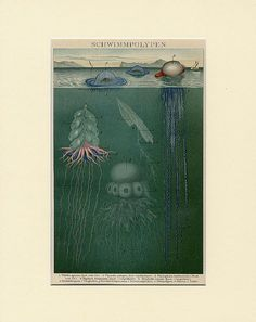 1898 Antique Jellyfish Print  Original German by Discoverprints, $34.00