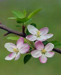 "seasonalwonderment: "" Spring is in the Air "" Botanical Flowers, Flowers Nature, Spring Flowers, Flower Images, Flower Pictures, Flower Art, Apple Blossom Flower, Cherry Blossom Art, Amazing Flowers"