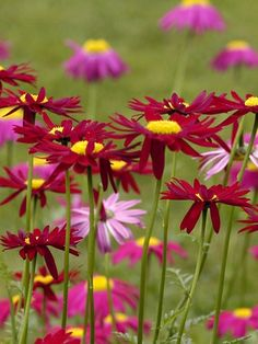 Pyrethrum coccineum Robinson's Red Painted Daisy a.k.a. Tanacetum coccineum