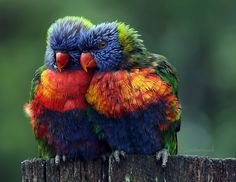 Rainbow Lorikeet  This pair of rainbow lorkeets were getting cosy on a rainy afternoon.   by LesleySmitheringale