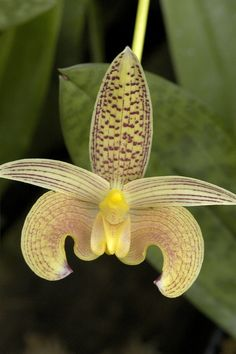 #Flowers | #flower | #Orchid Bulbophyllum sumatranum