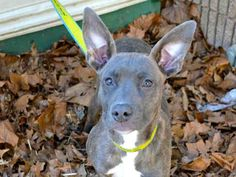 TRACEY Pit Bull Terrier Mix • Young • Female • Medium Fulton County Animal Services Atlanta, GA