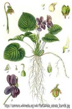 Viola odorata / Violeta: Viola can be used as a skin treatment against eczema and also to reduce the appearance of varicose veins. This strong-smelling flower has anti-cancer properties and can also alleviate symptoms of asthma and related lung illnesses. Illustration Botanique, Plant Illustration, Vintage Botanical Prints, Botanical Drawings, Botanical Flowers, Botanical Art, Éphémères Vintage, Leaf Identification, Impressions Botaniques