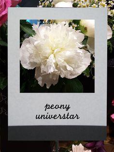 芍薬 (ユニバ―スター) #flower #shop #matilda #中目黒