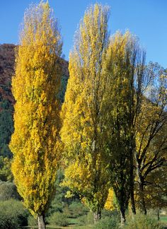 i ZIMMER-.ZYPRESS !i  Garten Zierbaum Zwerg Zypresse Miniaturbaum.