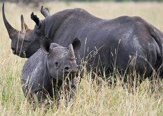 The black rhino is critically endangered with approximately 3600 left in the world.  An adult Black Rhinoceros stands ~155 cm (61 in) high at the shoulder and is ~3.4-m (~11.2 feet) in length.An adult weighs from ~1100 kg up to 1800  (2300-3000 lb),  The females are smaller than the males. Two horns on the skull are made of keratin with the larger front horn typically 50 cm long, exceptionally up to 140 cm.  These two were in the Masai Mara, in Kenya.
