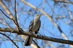 ARKANSAS Mockingbird (aka Northern mockingbird). Adopted 1929.Official Birds of Every State