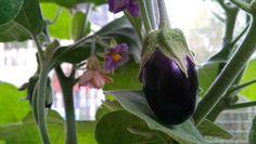 Für den eigenen Naschgarten: Bereits im Februar Aubergine selber ziehen und für die Gartensaison vorbereiten.