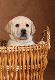 Yellow lab puppy in a wicker basket.