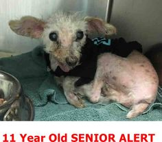 GONE --- ~ Animal ID #A695480  My Name is BAMBAM. I am described as a Male, White Miniature Poodle. The shelter thinks I am about 11 years old. I have been at the shelter since October 17, 2015. Rancho Cucamonga Animal Care and Adoption Center Telephone ‒ (909) 466-PETS (7387) 11780 Arrow Route Rancho Cucamonga, CA Fax: (909) 919-2698 https://www.facebook.com/OPCA.Shelter.Network.Alliance/photos/pb.481296865284684.-2207520000.1446009842./926474467433586/?type=3&theater