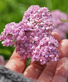 Achillea millefolium var. rubra 'Rosy Red'