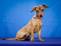 {Tater the doxie mix} adoptable at Downey Shelter Dogs, California. if I lived in CA, I'd run out and adopt Tater! He has a brother named Bear, too!!