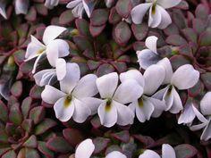 Pa 6586 Viola sacculus
