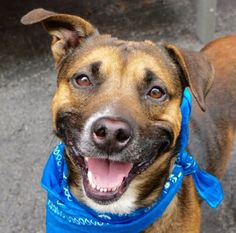 Manhattan Center ROCKO – A1073088 MALE, TRICOLOR, AM PIT BULL TER MIX, 3 yrs STRAY – STRAY WAIT, NO HOLD Reason STRAY Intake condition EXAM REQ Intake Date 05/10/2016, From NY 11693, DueOut Date 05/13/2016