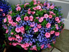 pink petunias and blue annual lobelia is lush and beautiful.