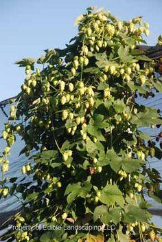 Hops 'Cascade' long-lived ornamental perennial vine used in making malt beverages. 10x6' self polinating