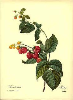 Redoute Botanical Print    Raspberry  40 by BritmoreCottage on Etsy, $4.99